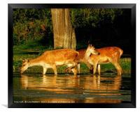 Deer in the Water, Framed Print