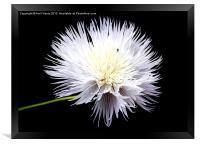 White Wildflower, Framed Print