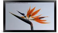 The bird of paradise flower, Framed Print