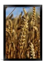 Ear of wheat, Framed Print