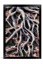 Meandering tree roots, Framed Print