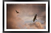 Buzzard In Flight, Framed Mounted Print