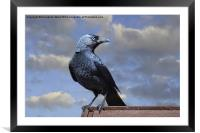 Majestic Jackdaw., Framed Mounted Print