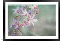 Lilac Looking Glass Flower, Framed Mounted Print