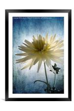 Dazed Dahlia., Framed Mounted Print