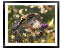 Juvenile Goldfinch 3, Framed Mounted Print