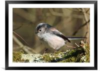 Long Tailed Tit, Framed Mounted Print