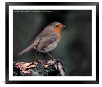 Robin on a log, Framed Mounted Print