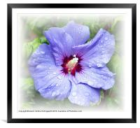 Blue Hibiscus, Framed Mounted Print