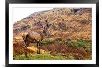 Red Deer Stag on location in Scotland, Framed Mounted Print