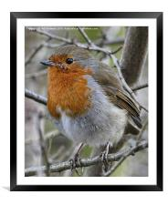 Portrait of a Robin, Framed Mounted Print
