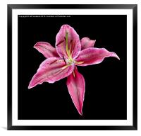Single Lily , Framed Mounted Print