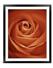 Antique Rose, Framed Mounted Print