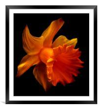 Daffodil 2, Framed Mounted Print