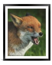 Laughing Fox, Framed Mounted Print