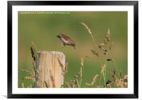 The Leaping Warbler, Framed Mounted Print