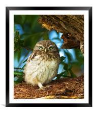 Little Owl at nest., Framed Mounted Print