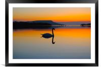 Swan Beauty, Framed Mounted Print