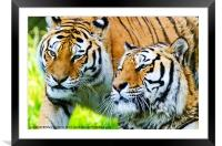 Two Tigers, Framed Mounted Print
