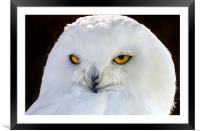 snowy owl, Framed Mounted Print