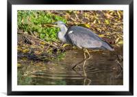 Grey Heron , Framed Mounted Print