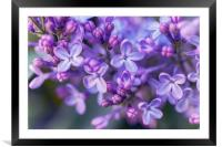 Lilac Dream , Framed Mounted Print
