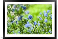 Blue Blossom of Ceanothus Concha in Spring Garden, Framed Mounted Print