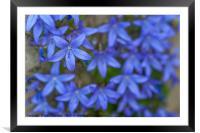 Blue Campanula garden carpet, Framed Mounted Print