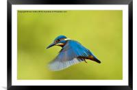 Wings down hovver-fisher, Framed Mounted Print