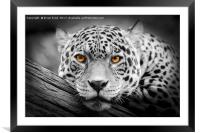 Jaguar Stare isolations, Framed Mounted Print
