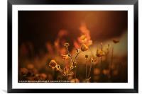 Buttercups In Sunset Ranunculus acris, Framed Mounted Print