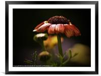 Chrysanthemum In Lerwick Flower Park, Framed Mounted Print