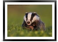 Badger walking on grass, Framed Mounted Print