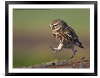 Little Owl late for work, Framed Mounted Print