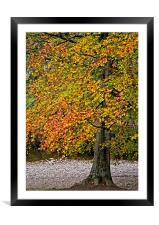 Autumn Beech Tree, Framed Mounted Print