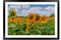 Boussac Sunflowers, Framed Mounted Print
