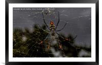 Golden Orb Spider, South Africa, Framed Mounted Print