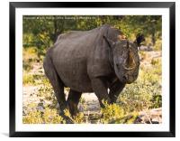 Namibian Black Rhinoceros , Framed Mounted Print