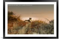 Lioness in the Last Rays of the Sun, Framed Mounted Print