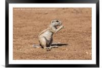 Namibian Ground Squirrel, Framed Mounted Print