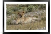 Lioness taking the suns rays, Framed Mounted Print