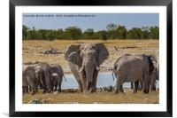 An old Bull Elephant Protecting His Herd, Framed Mounted Print