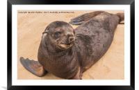 Fur Seal Basking at Cape Cross, Framed Mounted Print