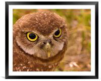 Burrowing Owl Portrait, Framed Mounted Print