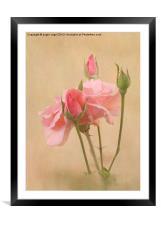 Blushing Pink, Framed Mounted Print
