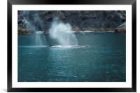 Humpback Whales Spouting, Framed Mounted Print