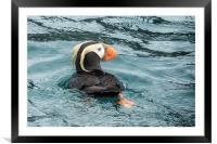 Tufted Puffin, Framed Mounted Print