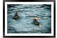 Tufted Puffin Pair, Framed Mounted Print