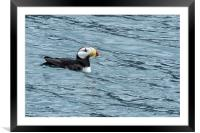 Horned Puffin, No. 1, Framed Mounted Print