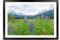 Lupin and the Beauty of Alaska, Framed Mounted Print